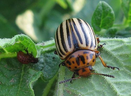 Best 25 Potato Bugs Ideas On Pinterest Sweet Potato Plant Avocado Vine And Growing Vegetables