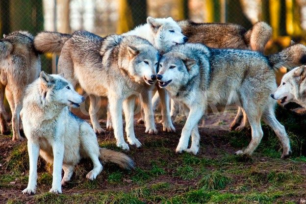 jordan v nike id White Wolf   42 Amazing Truths About Wolves Everyone Should Know How many wolves are in a pack  It varies  Sometimes there are just two  a male and a female  Usually the pack consists of the breeding pair and their offspring of the present year