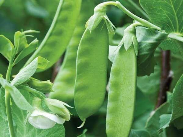17 High Yield Vegetables To Grow In Small Space Gardens Gardeners Magazine Growing Vegetables Heirloom Vegetables Growing Peas