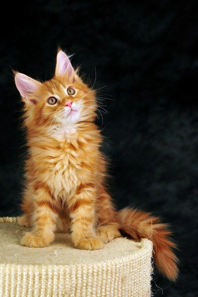 10 best Amarican Wirehair Cat Shugar Reserch images on Pinterest ...