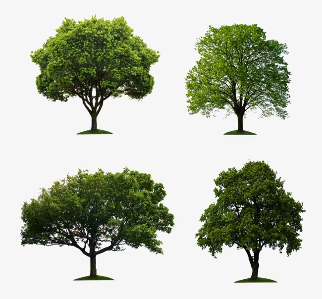 Eucalyptus Banyan Image Material Trees Green Trees Banyan Tree Png Transparent Clipart Image And Psd File For Free Download Tree Images Plant Images Trees To Plant