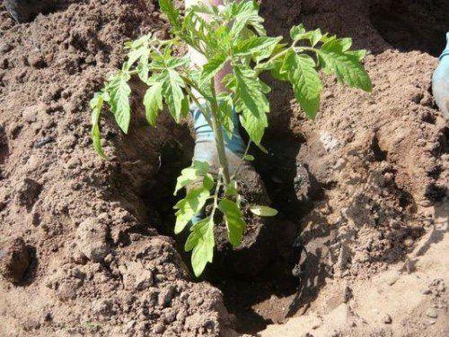 Томаты являются любимым овощем многих людей. Но для получения сочных и румяных плодов следует серьезно потрудиться, ведь помидор является достаточно требовательной культурой. Данный овощ нуждается в б…