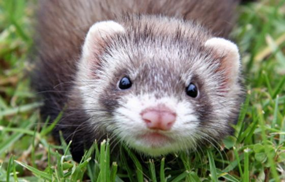 Google Image Result for http://www.supremepetfoods.com/wordpress/wp-content/uploads/2011/03/ferret1.png