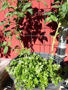 Tomaten ausgeizen und Blätter entfernen Anleitung