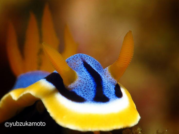 Chomodoris,sp south bolaang mongondow regency north sulawesi - indonesia