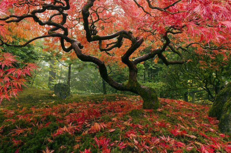 Japanese Maple Tree - Wall Mural & Photo Wallpaper - Photowall