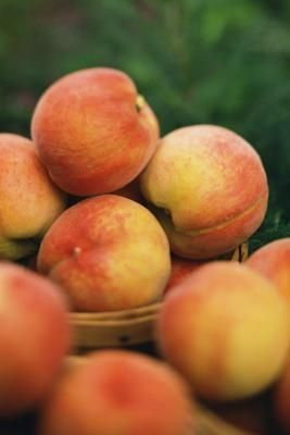 Organic Pest Control for a Peach Tree