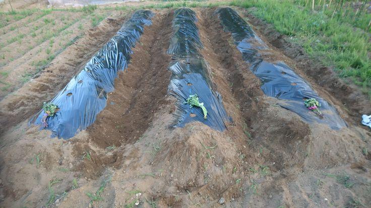 20170606 野原種苗㈱ サツマイモの植え付け 向かって右から、「べにはるか」「なると金時」「紅あずま」 畝を高くして植え付けました。