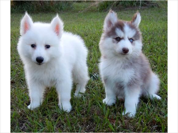 Pomeranian+Puppies+Husky | Pomeranian Husky Full Grown Pomsky i want one
