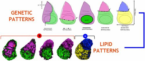 Combining Time-of-Flight Secondary Ion Mass Spectrometry Imaging Mass Spectrometry and CARS Microspectroscopy Reveals Lipid Patterns…