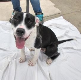 12 / 2       Petango.com – Meet Joey, a 1 year 10 months Hound / Terrier, Pit Bull available for adoption in TWINSBURG, OH        Contact Information Address  7996 Darrow Road, TWINSBURG, OH, 44087  Phone  (330) 487-0333  Website  http://www.summithumane.org  Email  info@summithumane.org