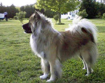 Long Coated Akita They Are Out There Dogzzz