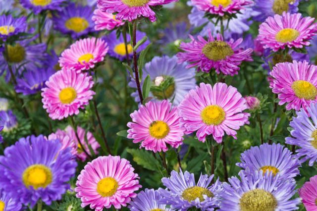 Callistephus Chinensis China Aster Aster Chinensis Aster Pompon Aster Paeony Annuals Annual Plants Annual Flowers Annual Flowers Annual Plants Annual Garden