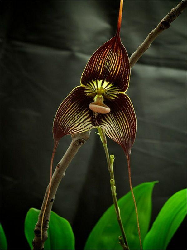 Dracula vampira (Luer) Orchid | Top 10 Rare & Unusual Flowers.