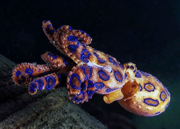 10-common-octopus-species-list-with-pictures-1