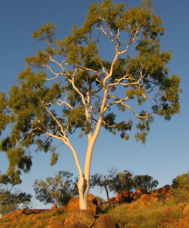 http://www.nams.ca/MagiBlog//wp-content/uploads/2010/11/2010.09.29-ghost-gum-in-Alice-Springs-Telegraph-Station-Historical-Reserve.jpg