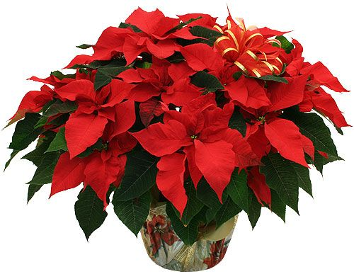 The perfect plant to say Merry Christmas. Send this decorative red poinsettia, and that special someone will indeed have a merry one.