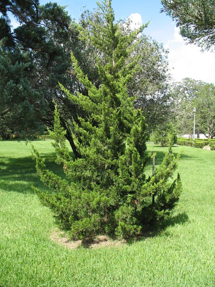 Images about juniperus on pinterest flora red