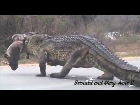 1m High Huge Crocodile Eating Warthog in the Road - Kruger Sightings - YouTube