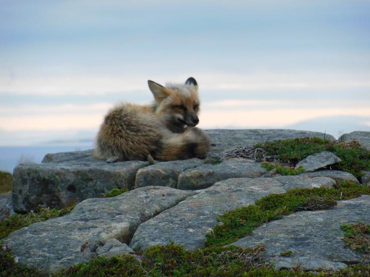 fox on sea cliffs in trinity bay