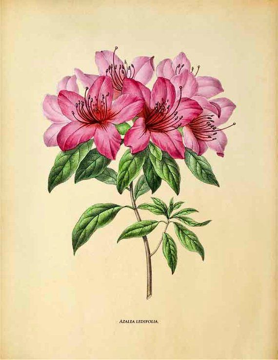Azalea Vintage Flower Print Pink Flower Wall Art Botanical Etsy In 2020 Azalea Flower Flower Drawing Vintage Flower Prints