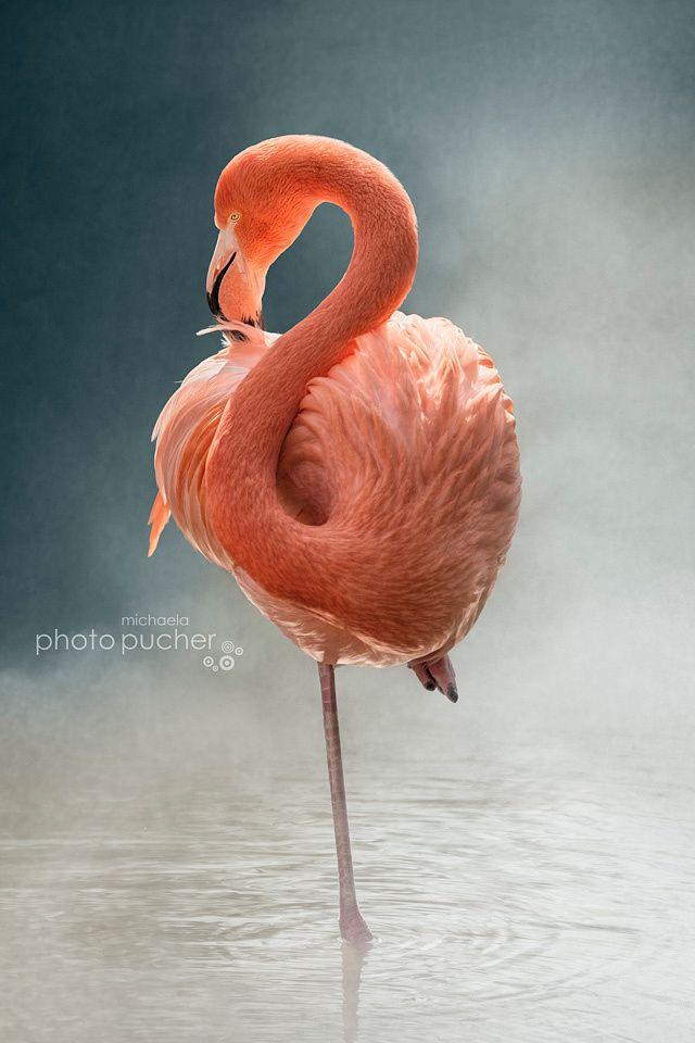 Fotografia Flamingo de Michaela Pucher na 500px