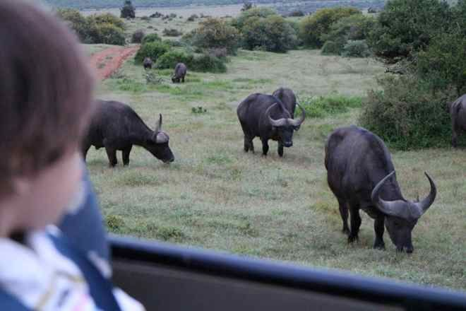 Early morning buffalo on the move. One of the many reasons to want to wake up at Addo. Here are a few more.  http://www.suitcasesandstrollers.com/articles/view/addo-elephant-national-park #GoogleUs #suitcasesandstrollers #travel #travelwithkids #familytravel #familyholidays #familyvacations #Africa