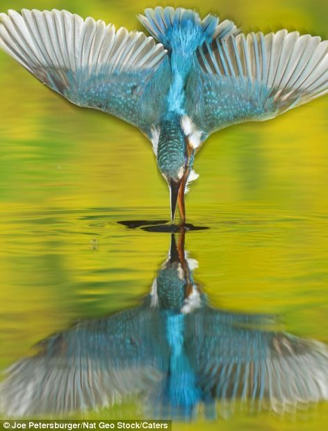 This incredible shot shows a near-perfect reflection of a kingfisher as it hits the water with it's beak open.