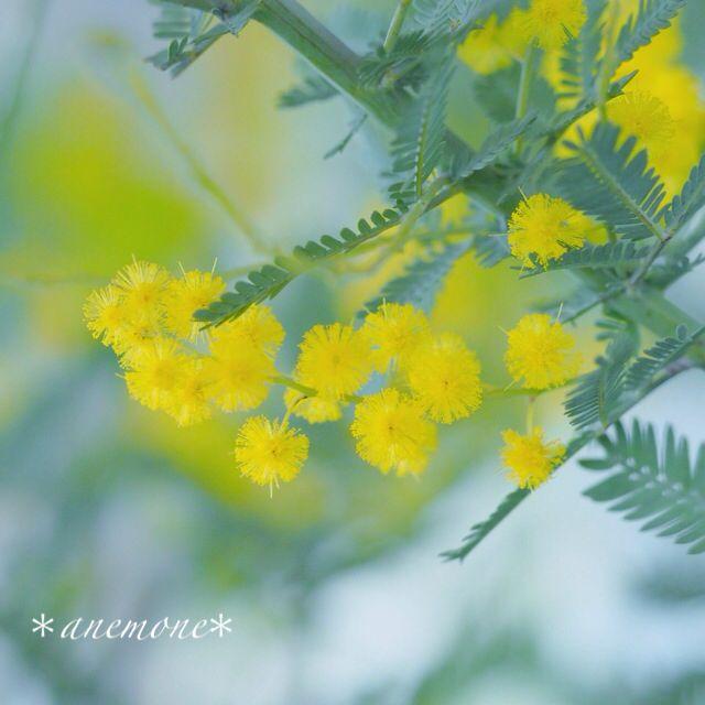 #ミモザ#Mimosa