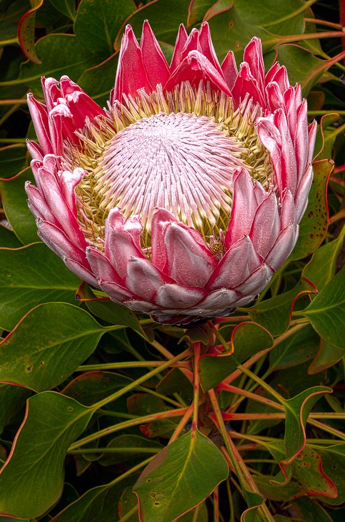 King Protea ~ Ali'i Kula Lavender Farm, Maui, Hawaii