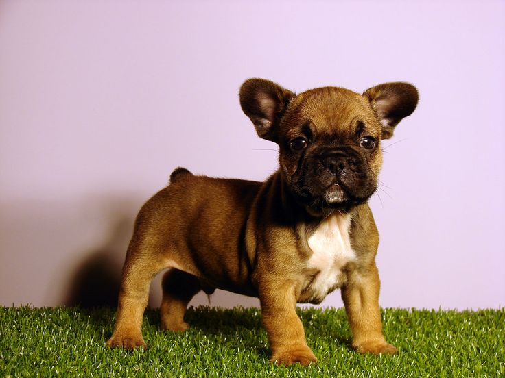 Benny has just been reserved for Brady in Seattle. In some short weeks he will experience the rainy summer of #Washington State. More purebred French Bulldog puppies are waiting their new owners at NewDoggy.com. Choose one and experience what we call #PurePuppyness!