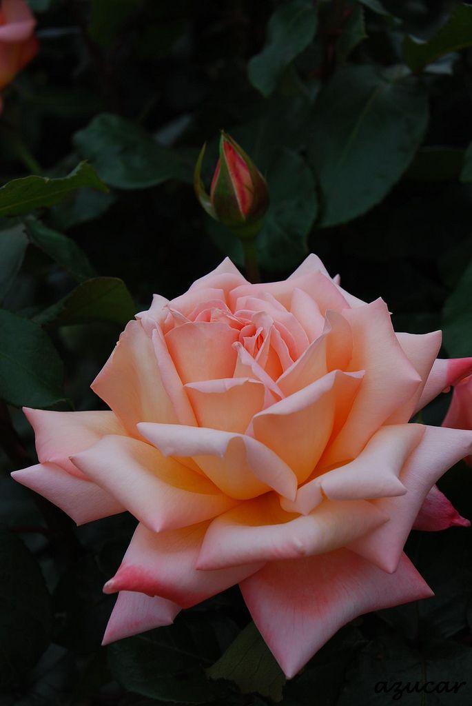 'Muso'   Hybrid Tea Rose. Keisei rose nurseries   Flickr - © azucargeminis