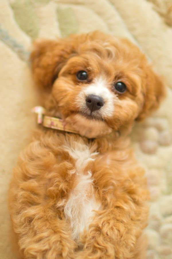 Cavoodles Or Cavapoo Prices Vary Greatly Depending On The Breeder You Choose In Australia I Ve Observed Puppies Dogs Cavapoo Puppies For Sale Cavapoo Puppies