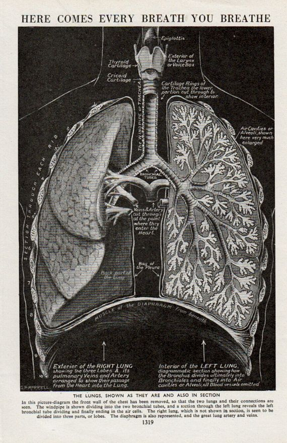 Anatomy Of Lungs Print  Medical Diagram Of Human Anatomy
