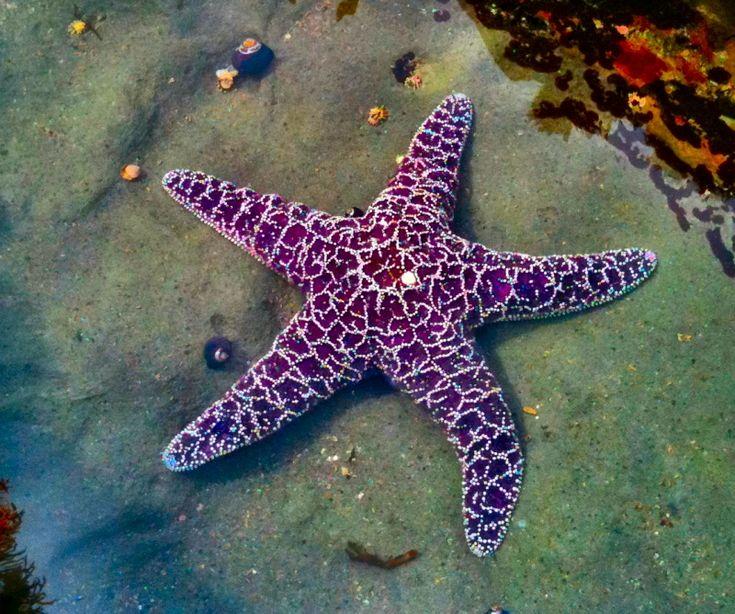 Purple star fish in Shell Beach California tide pool (Asterias rubens) Common…