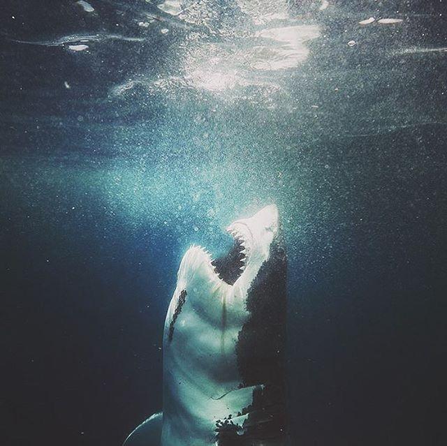 Toward The surface # Great White Shark