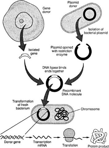 Use of Restriction Endonucleases and Ligase in Genetic Engineering