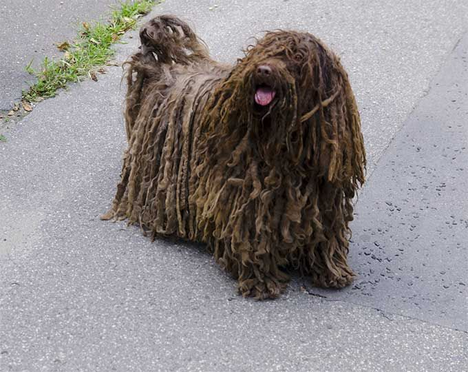 17 Best images about Mop dogs on Pinterest | Sheep dogs ...