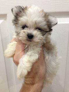 Best Small Dog Breeds Ideas On Pinterest Small Dogs Cute - 16 fluffy cute animal species world