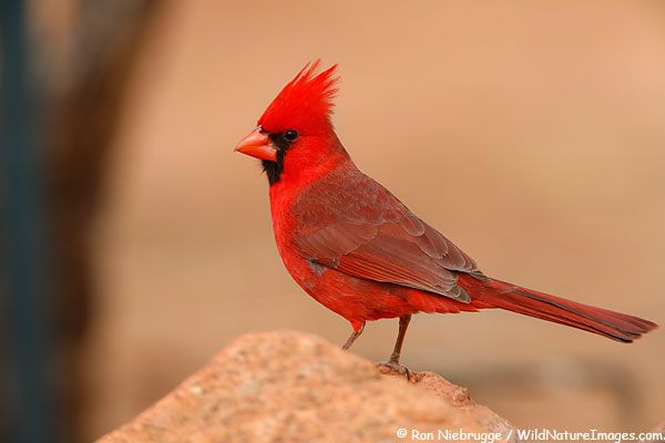 Northern Cardinal Picture