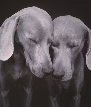 Weimaraners are the greatest of friends to ever have. I'll never get another breed of dog, ever.