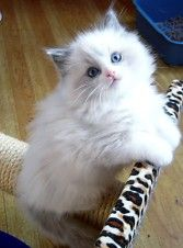 Beaufire Ragdolls -- Breeding Traditional Loving Ragdoll Cats