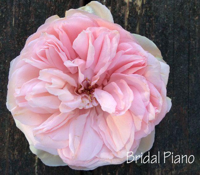 158 Best Images About Rose Garden On Pinterest Garden