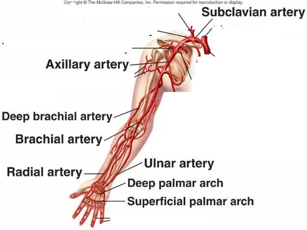 Arteries Of Arm And Shoulder