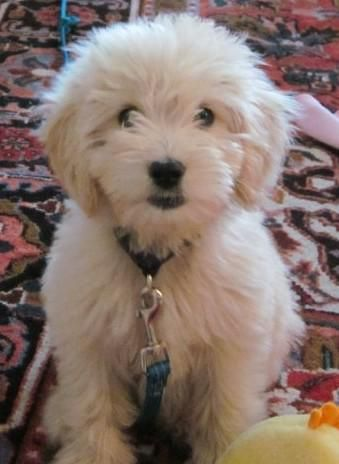 Goldendoodle and Labradoodle Puppies from Yesteryear Acres Goldendoodles and Labradoodles of Ohio