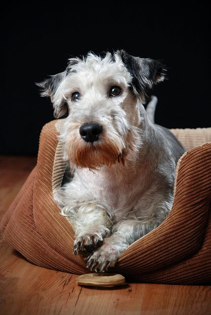 Cesky terrier...newly accepted into the AKC!! VERY cute little dog!!