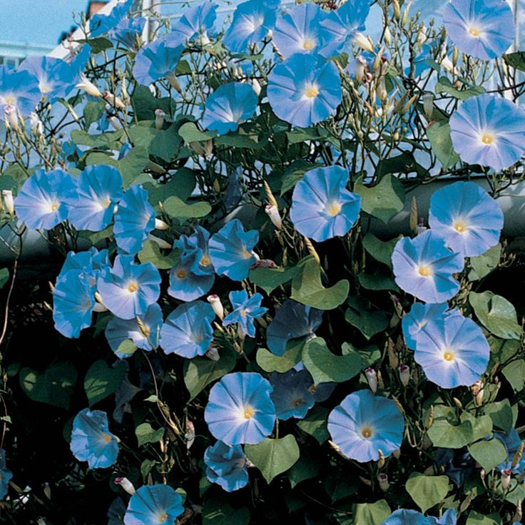 Morning Glory 'Heavenly Blue' - Half-hardy Annual Seeds - Thompson & Morgan