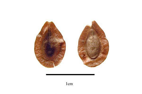 http://www.ars-grin.gov/npgs/images/sbml/Asclepias_incarnata_seeds.jpg