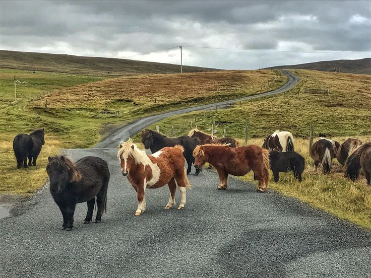 Best. Traffic jam. Ever. #Shetland #Scotland