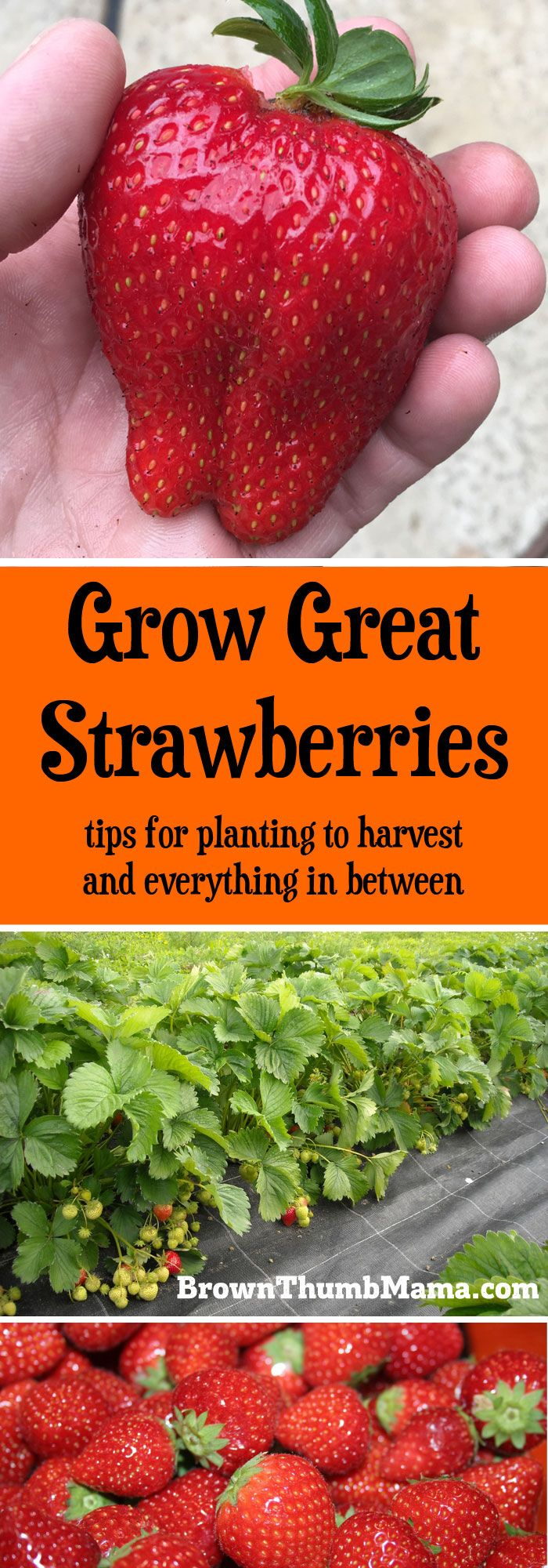 Strawberries are super-easy to grow, but there are a few important tips to keep in mind. Here's everything you need to know to grow gallons of #strawberries in your #garden.